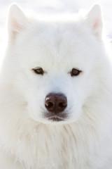 Dog portrait. Stock image. Samoyed.