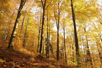 Majestic beech forest in late autumn colors