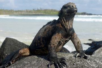 Marine iguana relaxing on the rock. Galapagos islands, Ecuador
