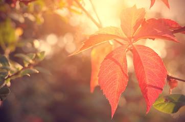 Closeup photo of red autumn leaf