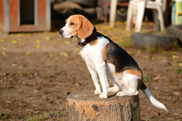 Photo of a Beagle dog in garden