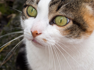 Green eyed tabby, calico pet cat face, closeup.
