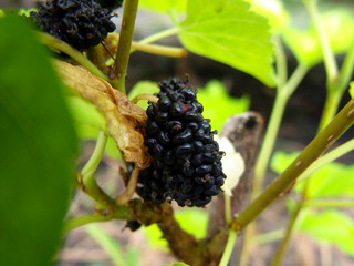 mulberry isolated group of berries