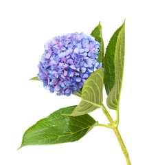 Fotorollo Hortensie lilac-blue hydrangea isolated on white