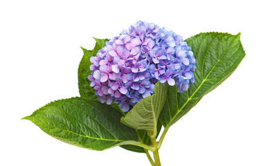 lilac-blue hydrangea isolated on white
