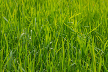 Fresh green grass as background. Selective focus.