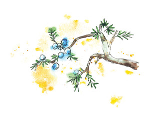Branch of juniper tree, vector illustration