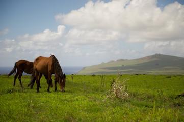 Horses Isla de Pascua. Rapa Nui. Easter Island