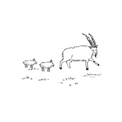 Hand drawn sketch of goats. Vector illustration