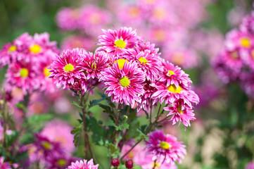 Chrysanthemum flower in the garden