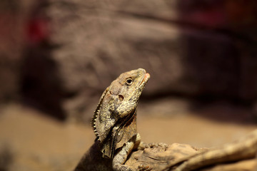 Head of frill-necked lizard