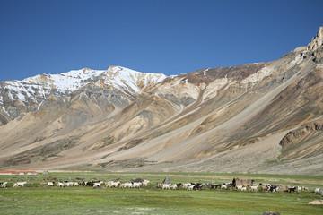 many sheep in Himalayas
