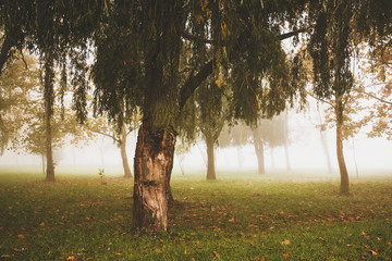 Willow in the fog