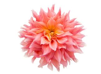 Poster de jardin Dahlia pink dahlia isolated