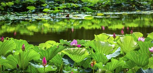 Pink Lotus Garden Reflection Summer Palace Beijing China
