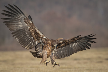 Eagle landing, wings spread