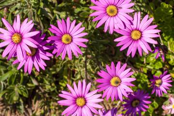 Pink osteospermum flowers