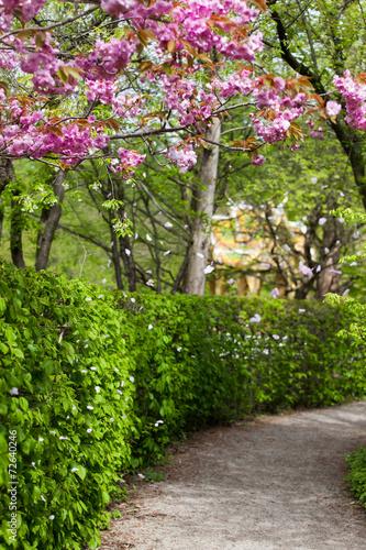spring time rosa kirschbl ten und gr ne hecke japanischer photo libre de droits sur la. Black Bedroom Furniture Sets. Home Design Ideas