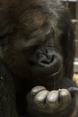 Western lowland gorilla is feeding