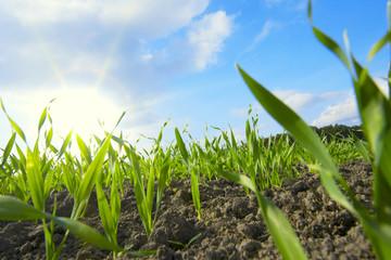 Aufgehende Saat von Weizen Fotoväggar