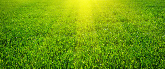 Canvas Prints Grass Green lawn for background