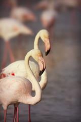 Beautiful flamingos