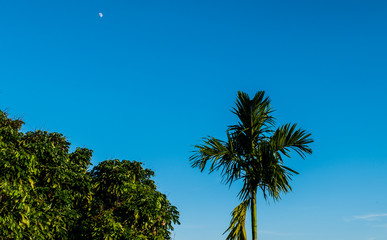 Betel palm tree and sky background with tiny pickled moon.