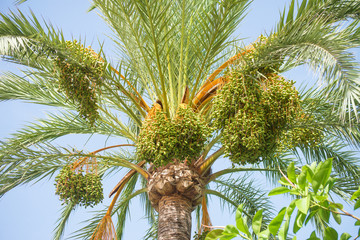 Green dates on palm tree.