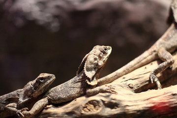 Two frill-necked lizard