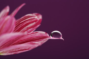 Water drop on purple flower on dark background