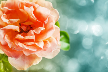 Close up of beautiful rose with bokeh background