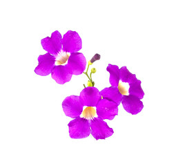 Garlic vine flower