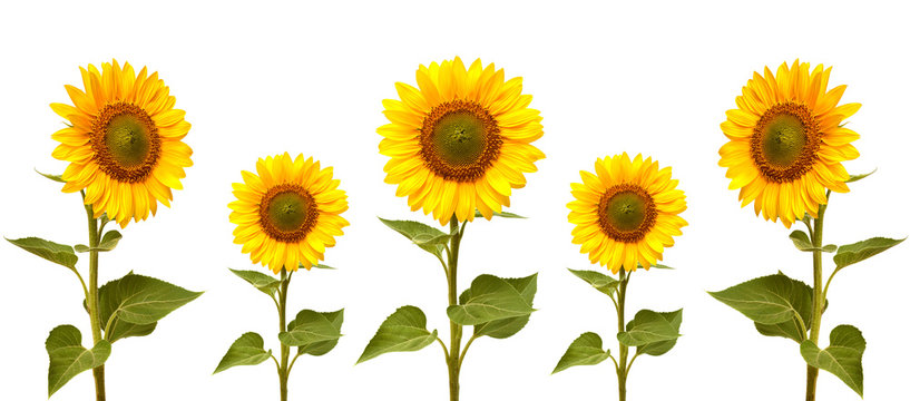 Sunflowers collection