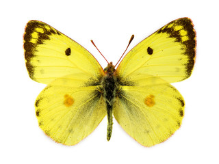 Bergers Clouded Yellow butterfly