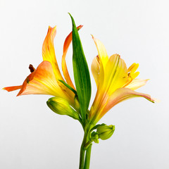 Beautiful orange lily flowers and leaves on white.