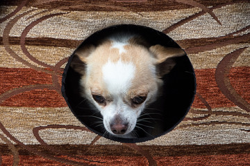 Image of chihuahua in the doghouse