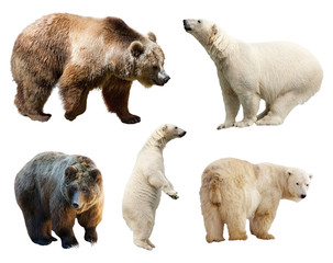 Wall Mural - Set of bears. Isolated on white