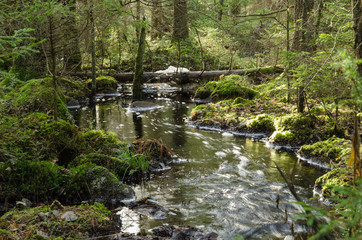 Fototapeta Streaming creek in a mossy forest obraz