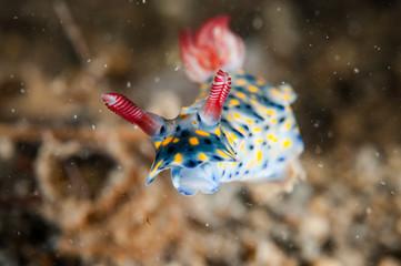 Nudibranch in Gili, Lombok, Nusa Tenggara Barat underwater