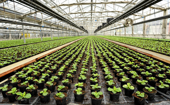 Interior of a commercial greenhouse