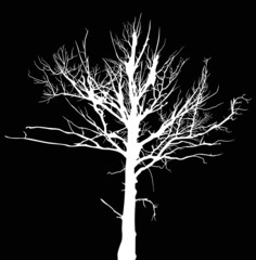 white dry large tree silhouette isolated on black