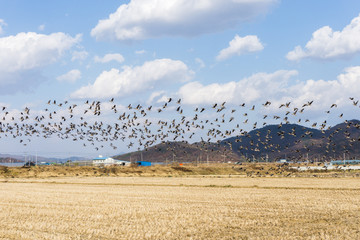 South Korea's migratory geese