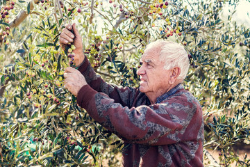 farmer at work with olive tree