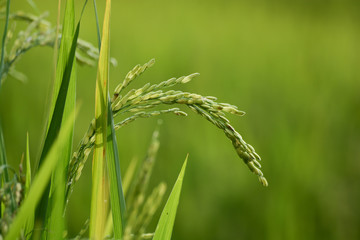 Rice plant with grain