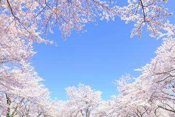 Autocollant pour porte Fleur de cerisier 満開の桜
