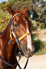 A horse with a bridle