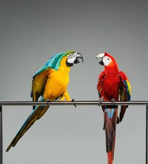 Fototapete - Two colourful parrots fighting  on a perch