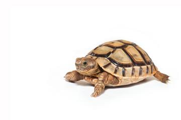 Turtle symbol of longevity