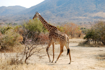 One day of safari in Tanzania - Africa - giraffe