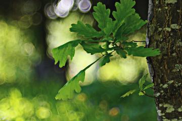 green oak leaves bokeh